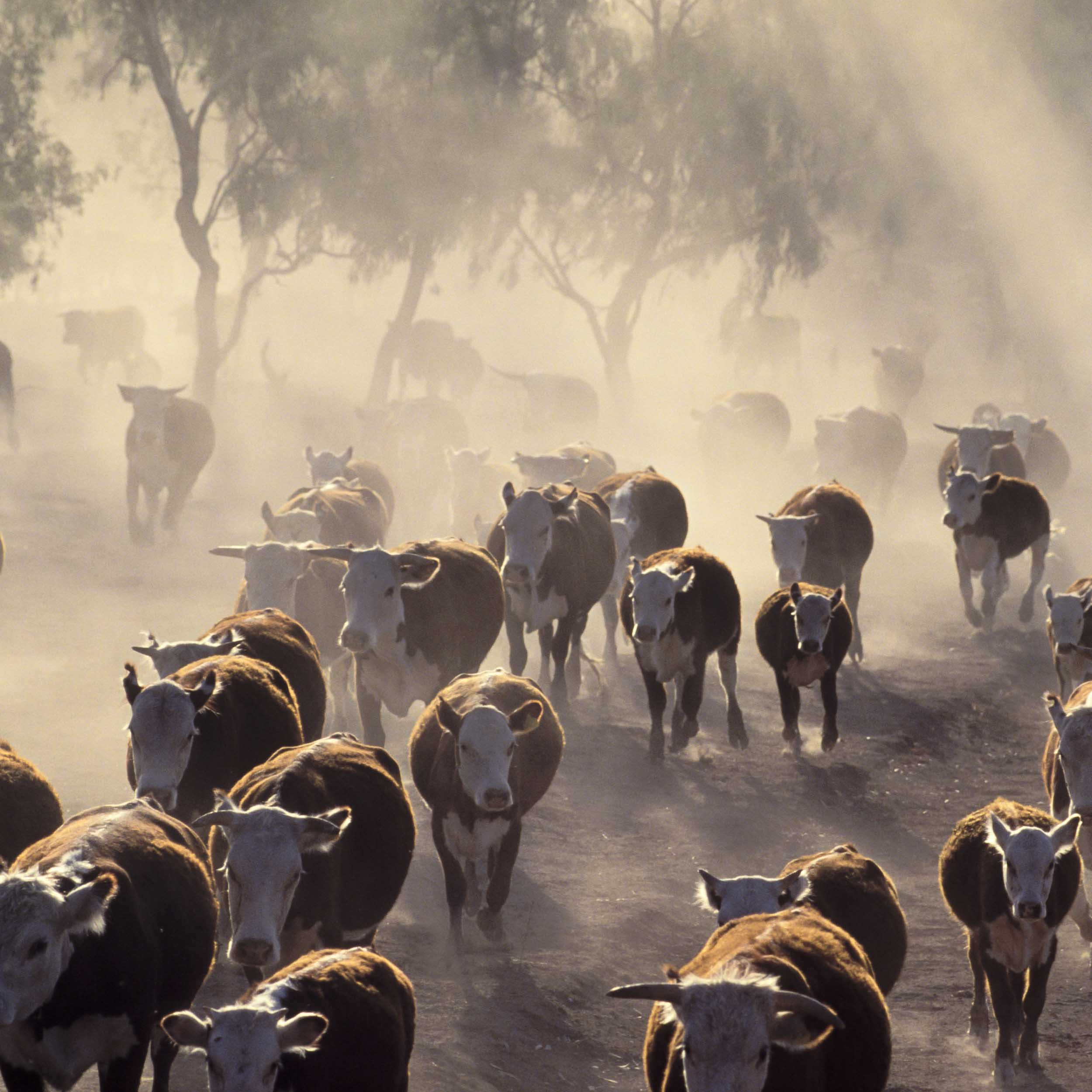 rural cattle